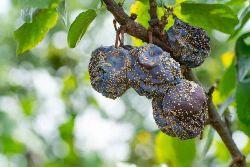 Fungal Disease Monilia cinerea in Orchard