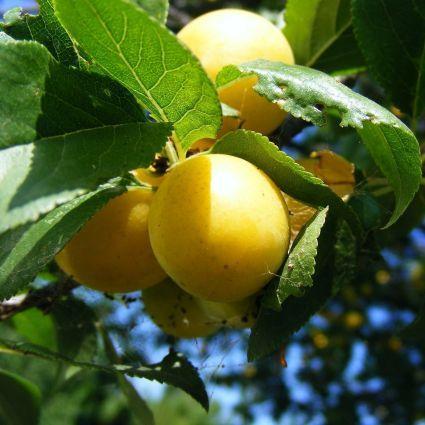 Golden Nectar Plum Tree