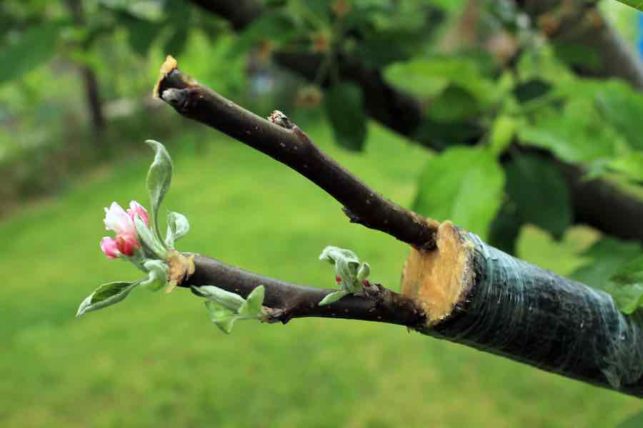 Live cuttings at grafting apple tree in cleft with growing buds, young leaves and flowers.
