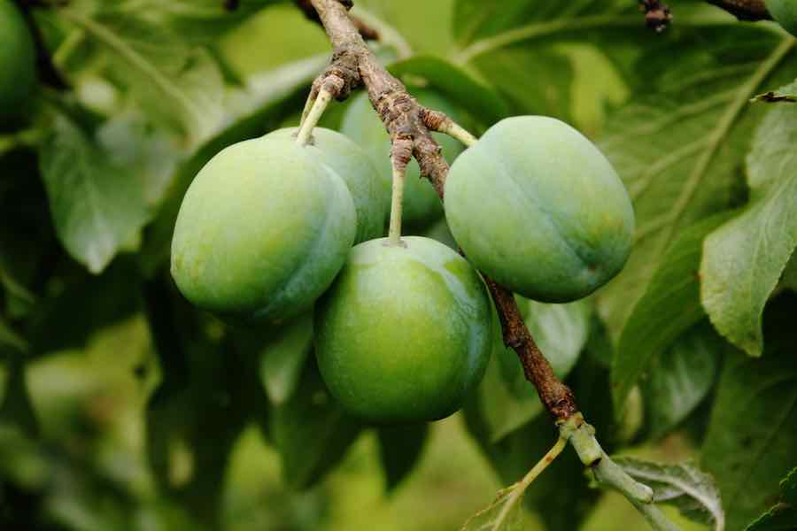 Green Gage Plums on the Tree