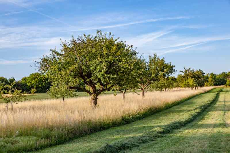 Mature Apple Tree