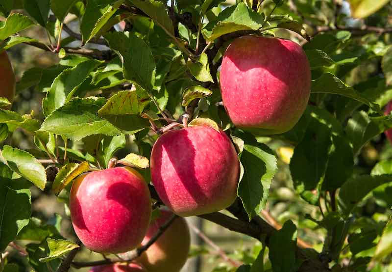 Pink Lady Apples on a Tree