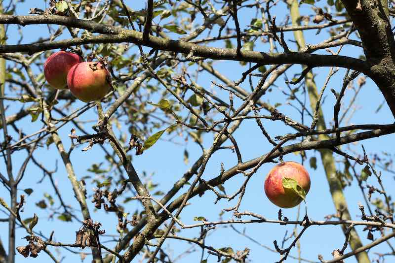 Pixie Crunch Apples on a Tree