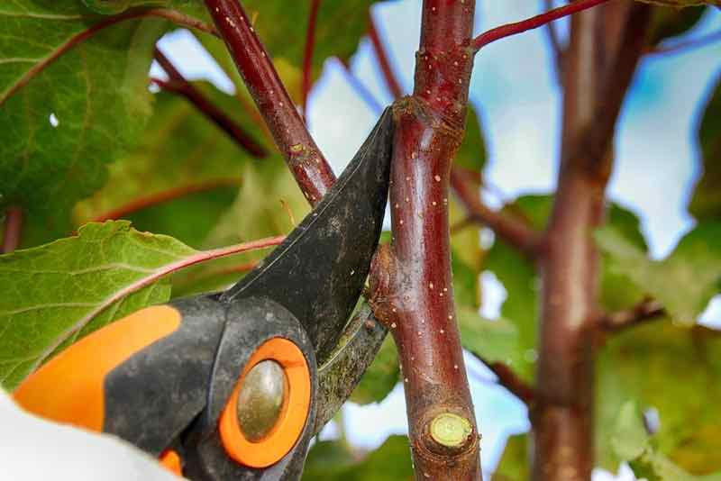 Pruning an apple tree.