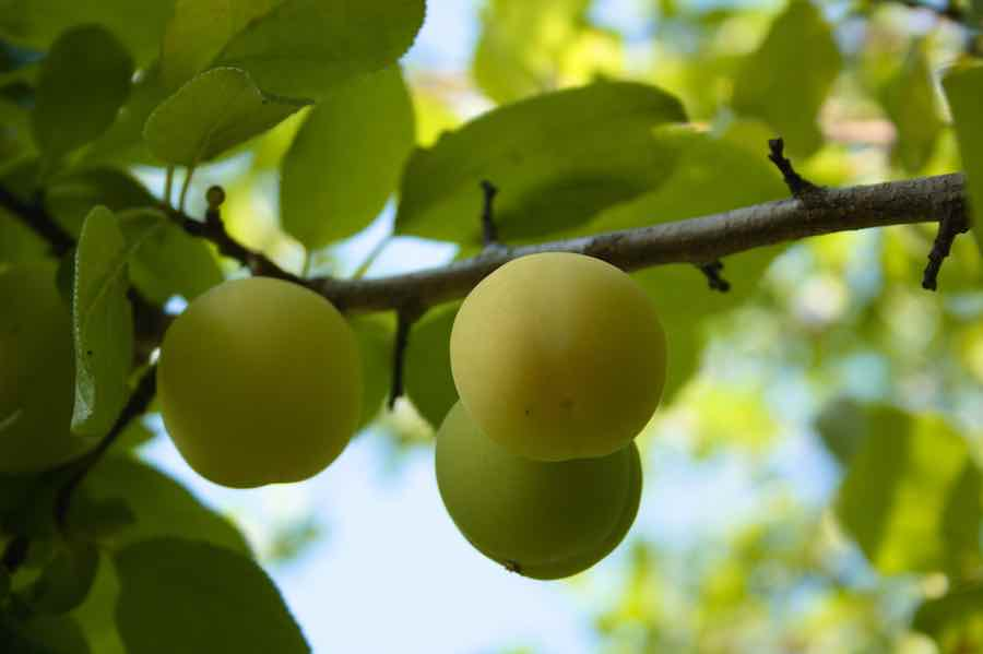Ripe Greengage on a Branch