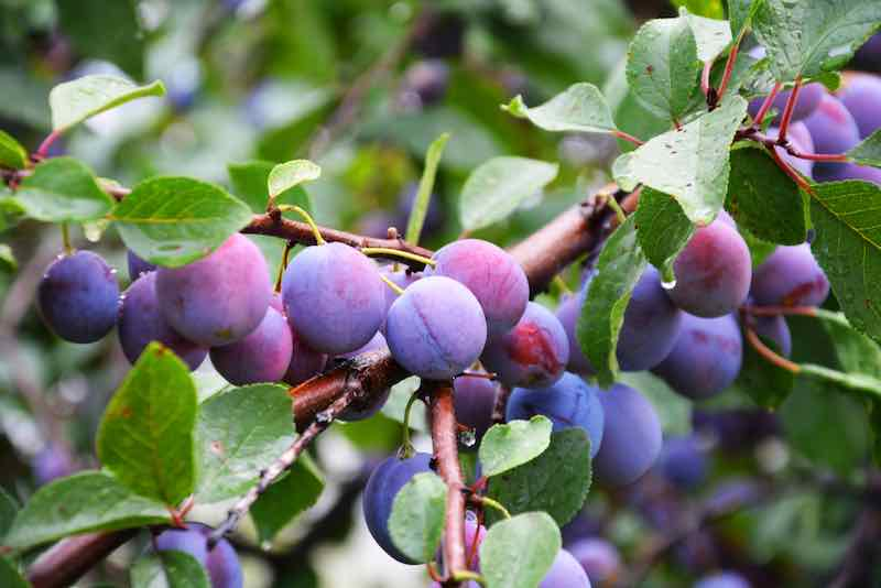 Reddish blue plums growing on a tree -- knowing how to grow plums means you'll be able to enjoy a yearly harvest of delicious fruit.
