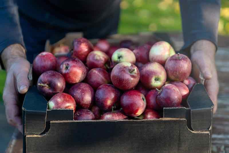 Ripe Spartan Apples