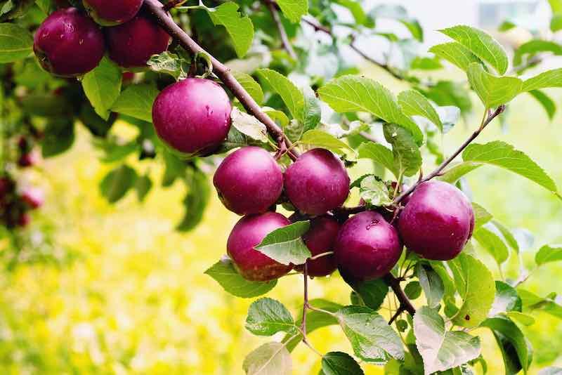 Spartan Apple Tree