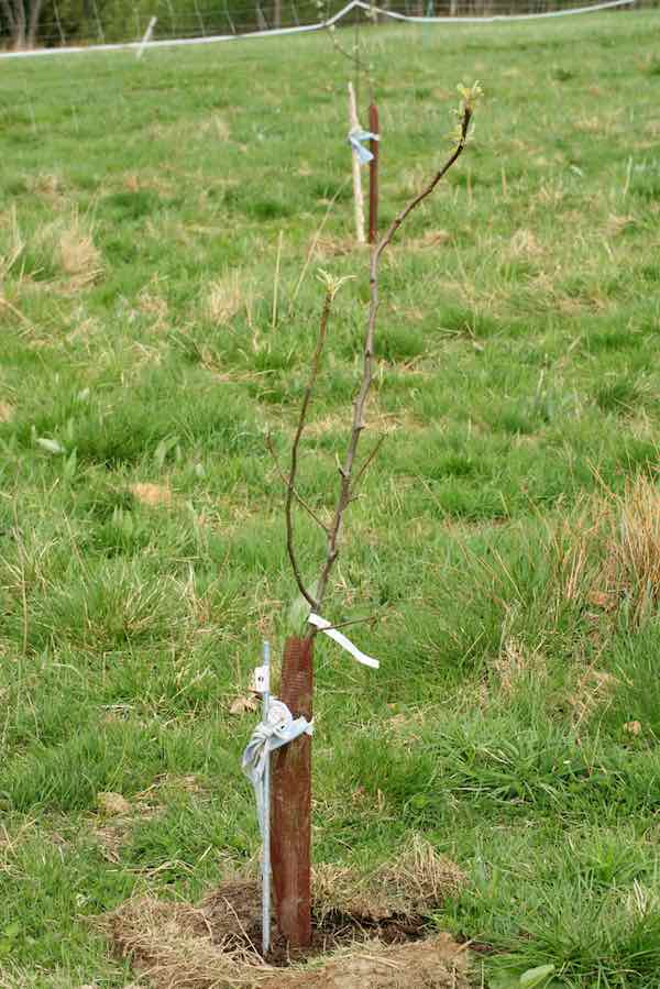 Staked Apple Tree