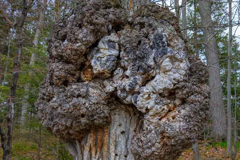 Tree Burr Knot