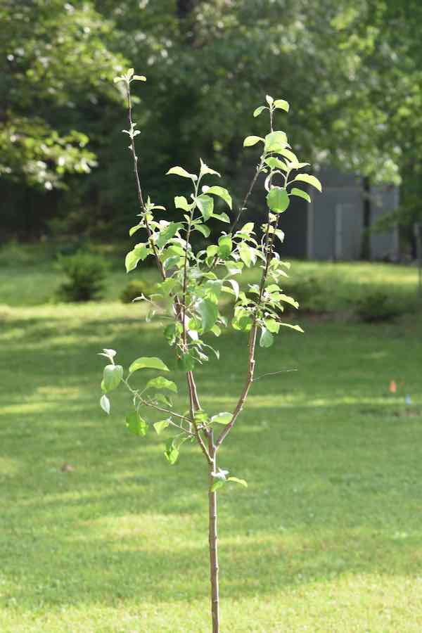 Young Liberty Apple Tree