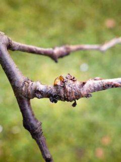 Plum Tree Diseases