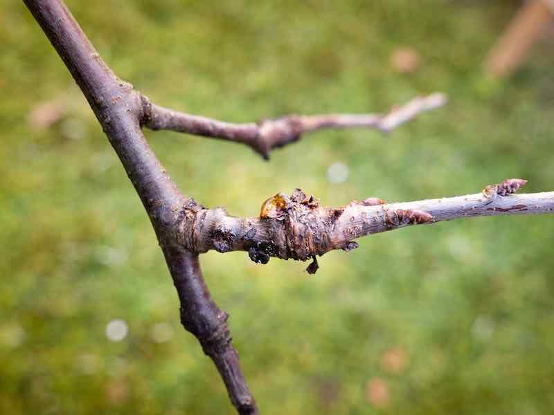 Plum Tree Diseases: bacterial canker