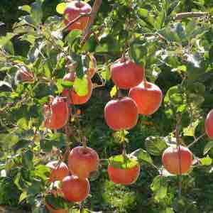 Nature Hills Nursery: Apple Trees For Sale
