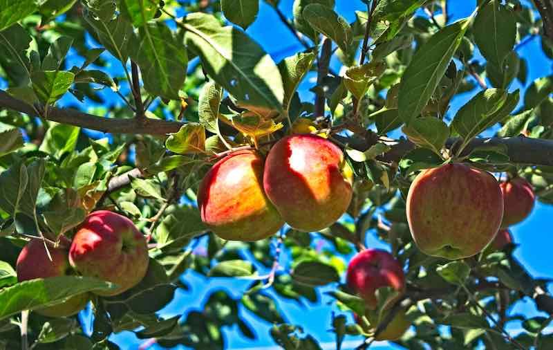 heirloom northern spy organic apples