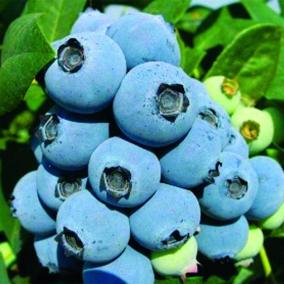 Jewel Blueberries