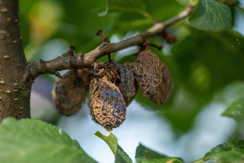 Rotten mummified plums on the fruit tree
