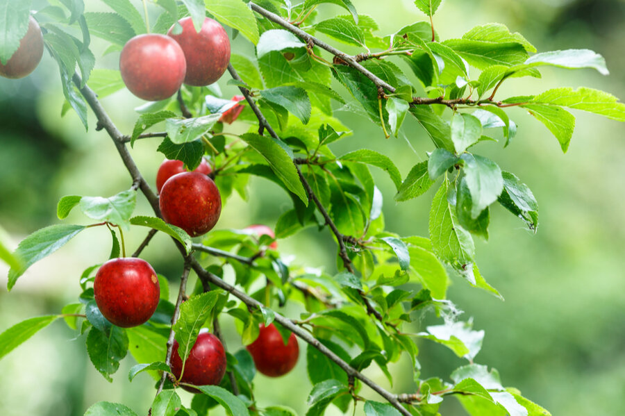 American Plums on Branch