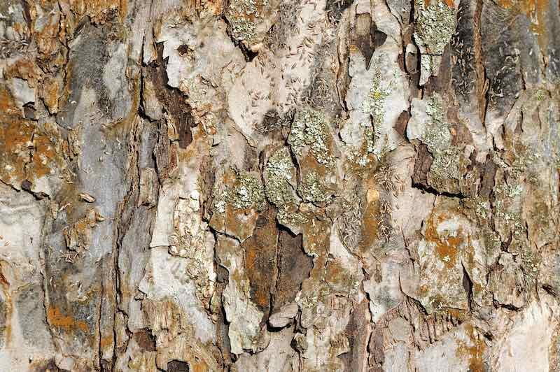 Apple Tree Bark