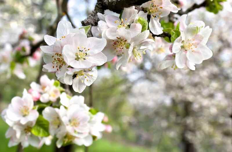 Closeup of pinkish white apple tree blossoms.