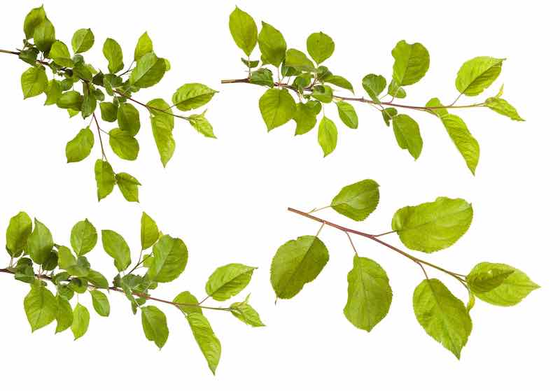 Apple Tree branches and leaves
