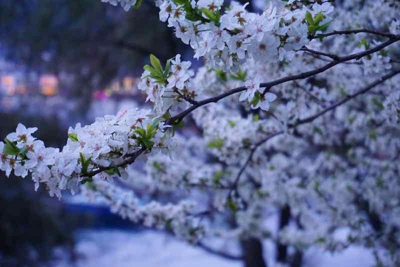 Beautiful White Plum Flowers