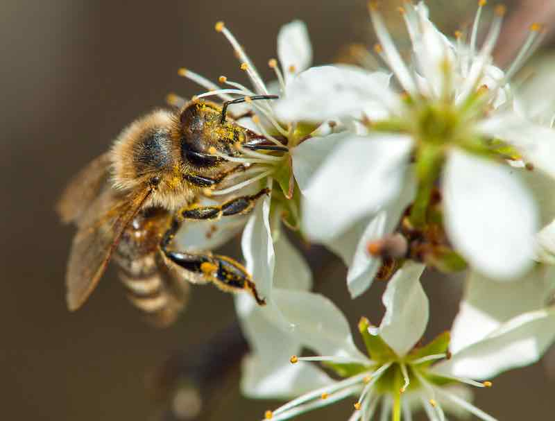 Bee on a white plum flower