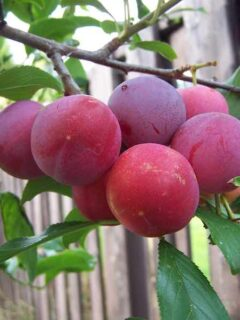 Bubble Gum Plums on a Tree
