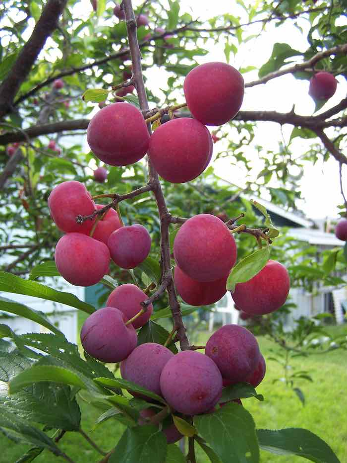 Closeup of Bubblegum plums growing on a tree -- one of the sweetest plum varieties.
