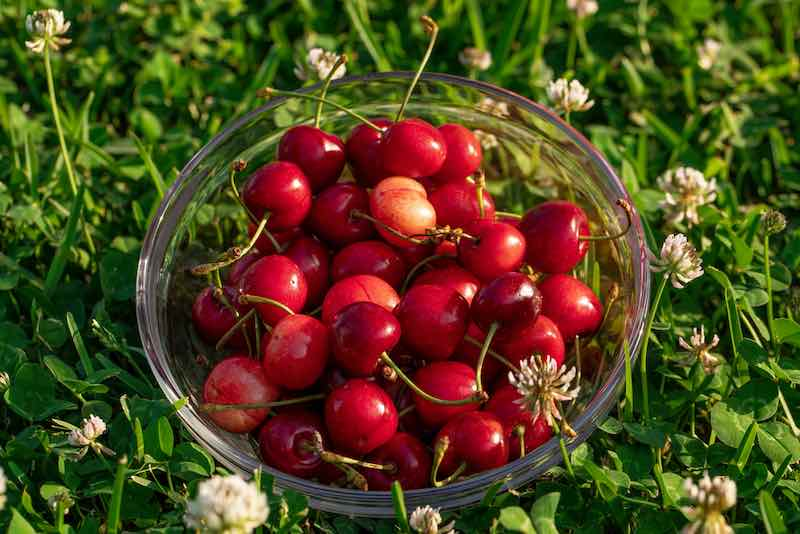 Montmorency Cherry in a Bowl