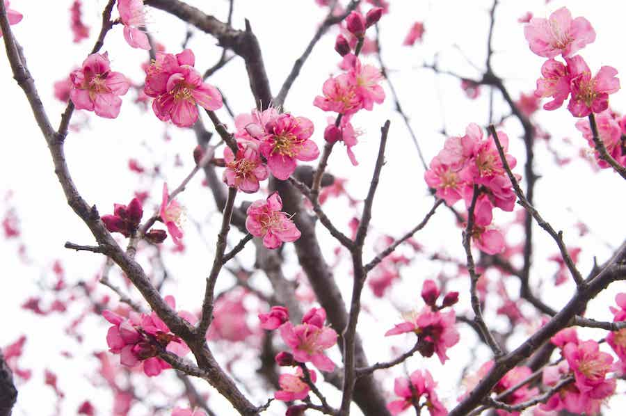 Chinese Plum Blossoms