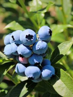 Bluecrop Bluebery