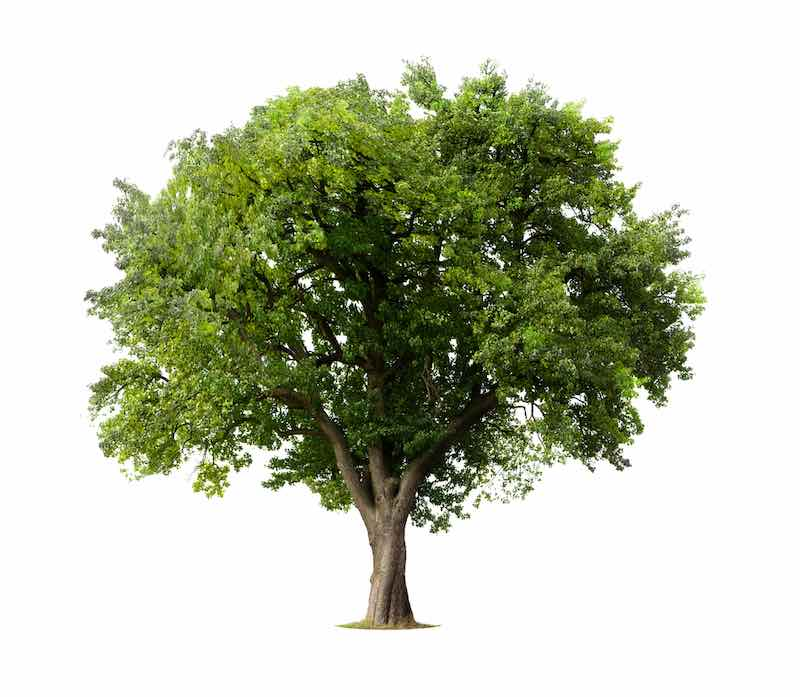 How to Identify An Apple Tree: Illustrated Apple Tree