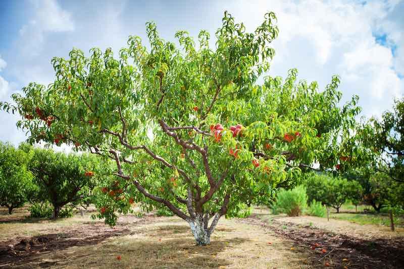 Large Peach Tree