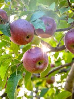 Macoun apples at an orchard in Massachusetts