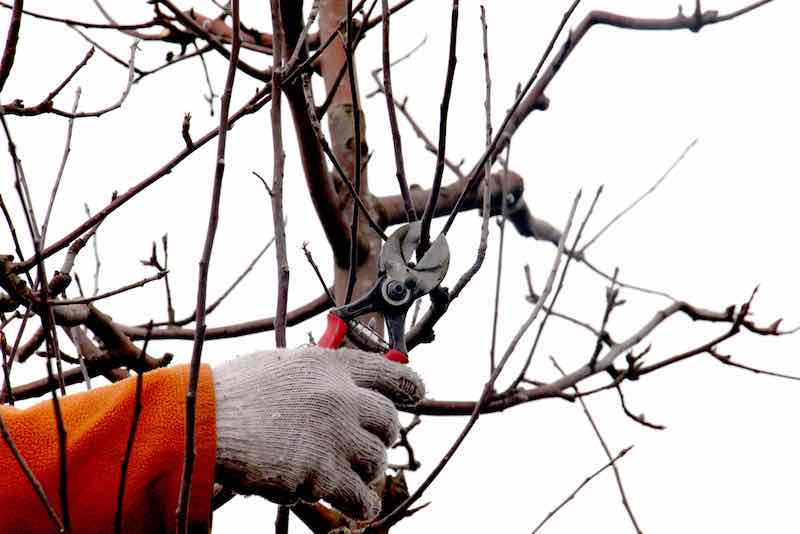 Pruning a Plum Tree