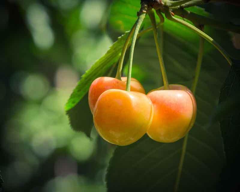 Rainier Cherries on a Tree