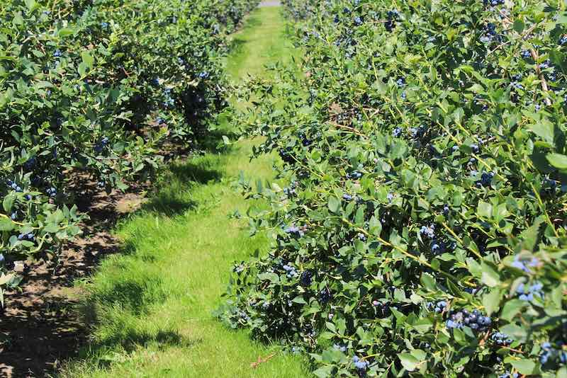 Rows of bluecrop blueberry bushes.