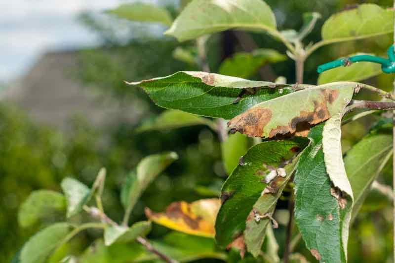 Scab on Apple Trees