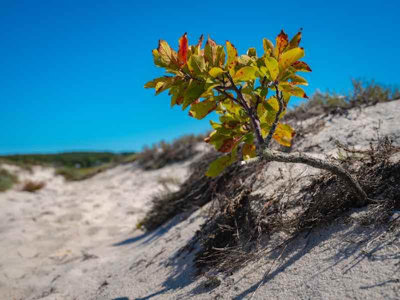 Small Beach Plum Tree on the Beach