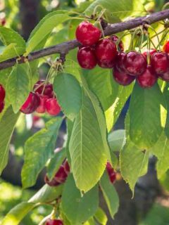 Stella Cherry Tree with Cherries
