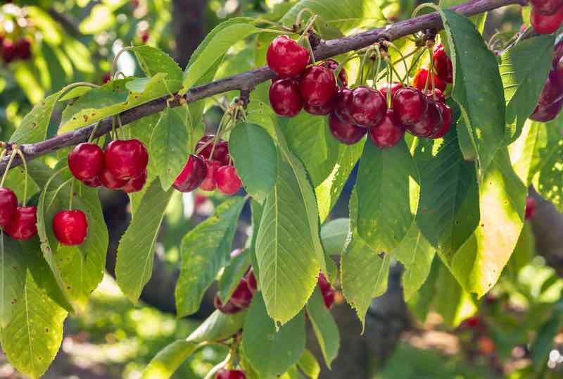 Stella Cherry Tree with Cherries