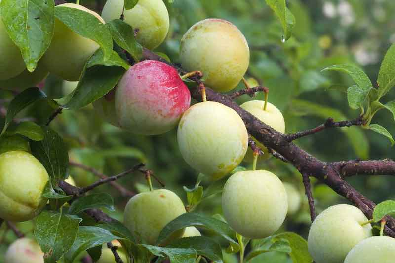 Superior Plum Tree