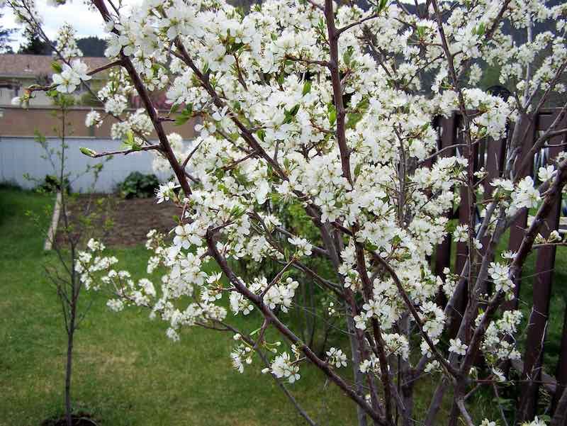 Toka Plum Tree Blooming