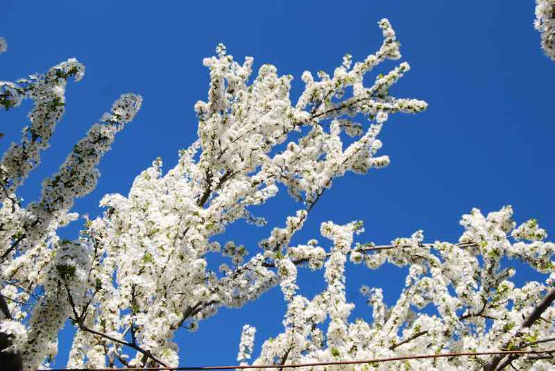 White Flowers of a Plum Tree