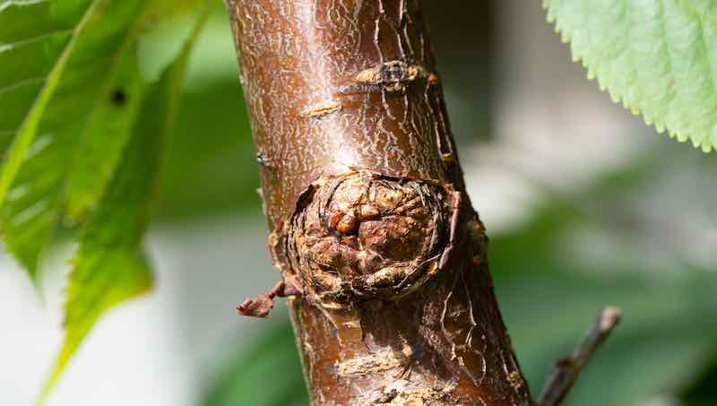 common bacterial canker