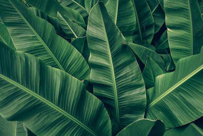 https://www.shutterstock.com/image-photo/tropical-banana-palm-leaves-texture-green-1300567765