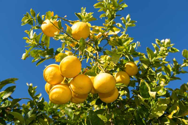 Grapefruit on a Tree