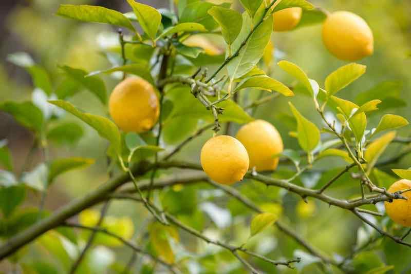 Lemons on a Tree