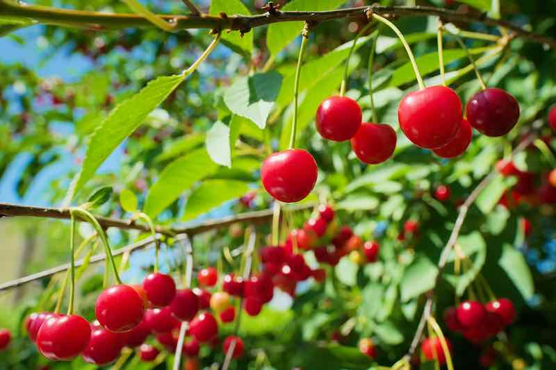 Red Sour Cherries